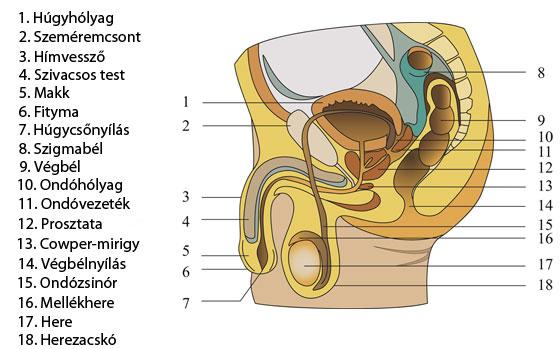 a férfi szerv-erekció szerkezete mikor kell a pénisznek felemelkednie