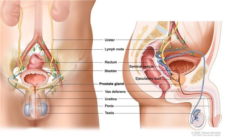 Mi a prosztata és milyen funkciója van a férfi testben?