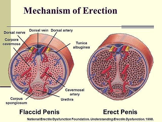 Az erekció biológiai oka - HáziPatika