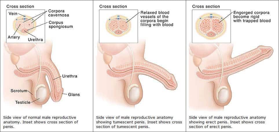 erekció megszüntetése emberi pénisz alakja