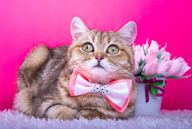 merevedés kasztrált macska