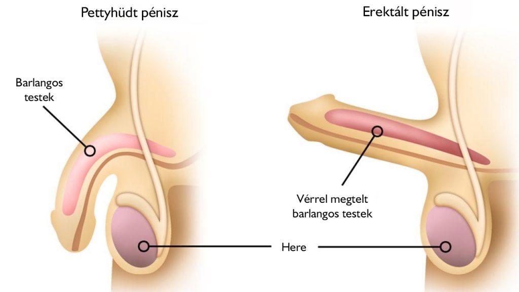 gyenge merevedés, de gyors a masszázs segíti a pénisz megnagyobbodását