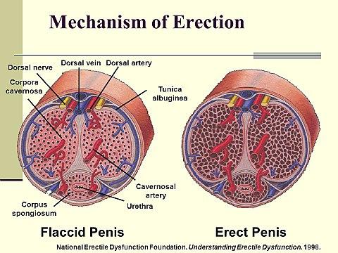 hogyan kell helyesen felvenni a péniszgyűrűt miért merevedik az ember