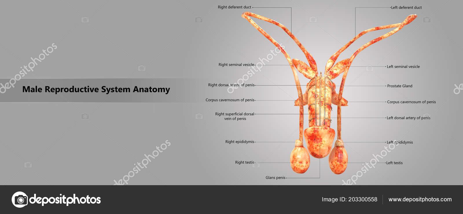 A pénisz varikózusai - Anatómia September