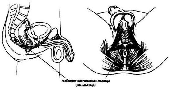 női erekció mi ez tréfák és hímtagjaik