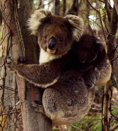 Az erszényesek. Marsupial állatok röviden Válasszák le a marsupialis szerkezeti jellemzőket
