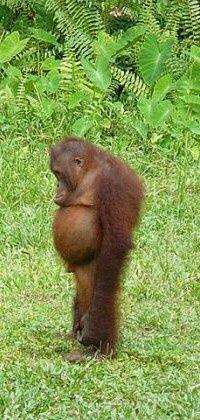orangután pénisz