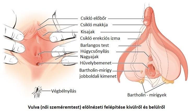 erekció az ovuláció során