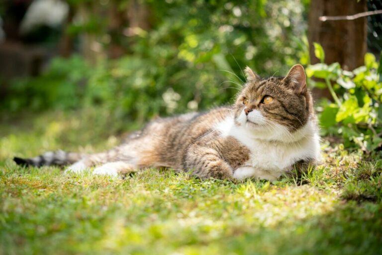 Kandúr macskák ivartalanítása