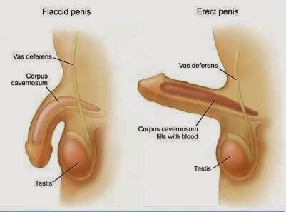 a pénisz növelése gyakorlatokkal az erekció időtartamának növekedése
