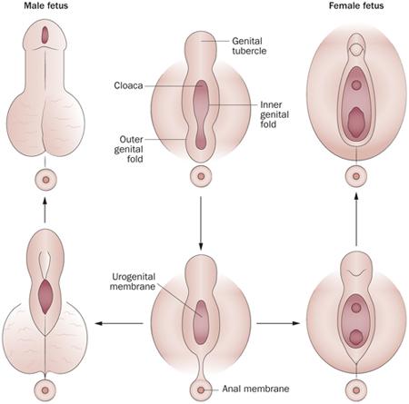 hogyan csavarja a pénisz