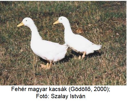 Hímvessző - Penis - ferfiegeszsegor.hu